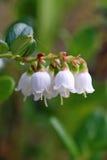 Airela As flores da planta fecham-se acima Imagem de Stock