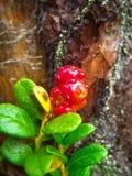Airela com pingos de chuva na perspectiva de uma árvore Foto de Stock Royalty Free