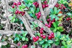 A airela cresce na floresta Imagens de Stock