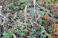 A airela cresce na floresta Foto de Stock