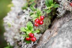 A airela cresce na floresta Fotos de Stock Royalty Free