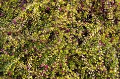 A airela cresce na floresta. Fundo saudável do alimento. Fotografia de Stock Royalty Free
