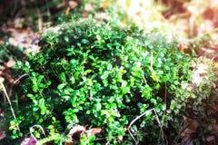Airela da floresta na floresta do verão Fotos de Stock