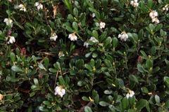 Airela do Lingonberry na flor Imagens de Stock Royalty Free