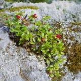 Airela em uma pedra coberta com o líquene Fotos de Stock Royalty Free