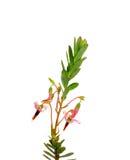 A airela floresce (o macrocarpon do Vaccinium) Foto de Stock