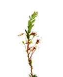 A airela floresce (o macrocarpon do Vaccinium) Imagens de Stock Royalty Free