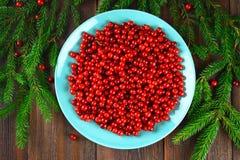 Airela, foxberry, arando, lingonberry em um prato cerâmico azul em uma tabela de madeira marrom Cercado por ramos do abeto Vista  Fotografia de Stock Royalty Free