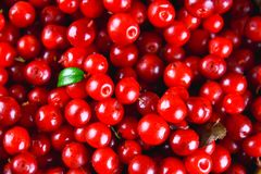 Airela, foxberry, arando, textura do lingonberry, vista superior Fotos de Stock