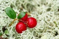 Airela (foxberry, lingonberry) Imagens de Stock