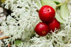 Airela (foxberry, lingonberry) Fotografia de Stock Royalty Free