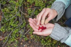Airela fresca vermelha na palma Imagens de Stock
