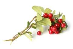 Airela madura no ramo com folhas verdes Fotos de Stock