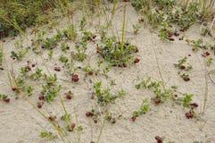 A airela madura vermelha cresce na areia na floresta verde Imagem de Stock