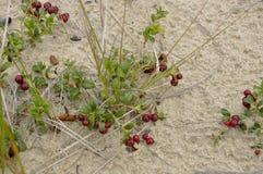 A airela madura vermelha cresce na areia na floresta verde Fotos de Stock Royalty Free
