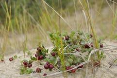 A airela madura vermelha cresce na areia na floresta verde Fotografia de Stock Royalty Free
