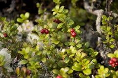 Airela madura vermelha na floresta verde Fotos de Stock
