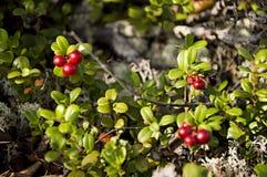 Airela madura vermelha na floresta verde Fotos de Stock Royalty Free