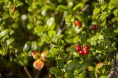 Airela madura vermelha na floresta verde Imagem de Stock