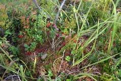 Airela ou lingonberry Imagem de Stock