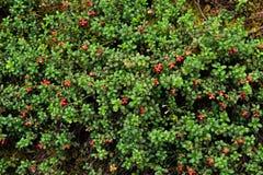 Airela ou lingonberry (vitis-idaea do Vaccinium) Foto de Stock Royalty Free
