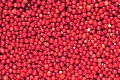 Airela ou lingonberry (vitis-idaea do Vaccinium) Fotografia de Stock Royalty Free