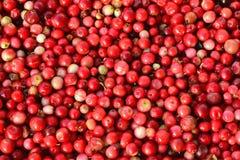 Airela ou lingonberry - vitis-idaea do Vaccinium Foto de Stock Royalty Free