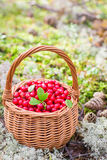 Airela suculenta madura em uma cesta na floresta do outono Imagens de Stock Royalty Free