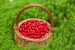 Airela suculenta madura em uma cesta na floresta do outono Foto de Stock
