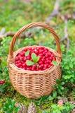 Airela suculenta madura em uma cesta na floresta do outono Imagens de Stock