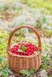 Airela suculenta madura em uma cesta na floresta do outono Fotografia de Stock