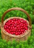 Airela suculenta madura em uma cesta na floresta do outono Fotografia de Stock Royalty Free