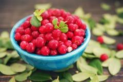 Airela suculenta, uvas-do-monte vermelhas, arandos em uma bacia azul brilhante Imagem de Stock