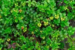 Airela verde Fotografia de Stock