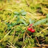 Airela vermelha brilhante na floresta Berry Picking Fotografia de Stock