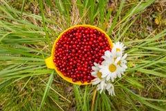 Airela vermelha em uma caneca na grama com as margaridas do campo de flores brancas, configuração lisa Foto de Stock Royalty Free