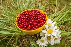 Airela vermelha em uma caneca na grama com as margaridas do campo de flores brancas, configuração lisa Fotografia de Stock
