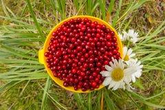 Airela vermelha em uma caneca na grama com as margaridas do campo de flores brancas, configuração lisa Imagens de Stock Royalty Free