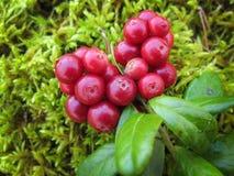 A airela vermelha madura com verde sae no musgo Imagem de Stock Royalty Free