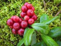 A airela vermelha madura com verde sae no musgo Fotos de Stock Royalty Free