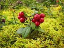 A airela vermelha madura com verde sae no musgo Fotos de Stock