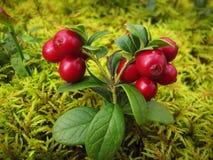 A airela vermelha madura com verde sae no musgo Imagens de Stock