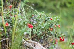 A airela vermelha madura cresce na floresta Fotografia de Stock