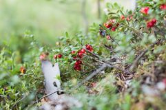 A airela vermelha madura cresce na floresta Imagem de Stock