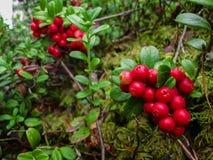 A airela vermelha madura cresce na floresta do pinho Imagem de Stock Royalty Free