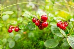 A airela vermelha madura cresce na floresta do pinho Fotografia de Stock