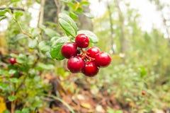 A airela vermelha madura cresce na floresta do pinho Imagens de Stock