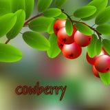 Airela vermelha, suculenta, doce em um ramo para seu projeto Vetor Imagens de Stock Royalty Free