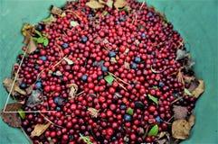 Airelas e uvas-do-monte na cubeta verde com as folhas verdes e amarelas pequenas e acerose Vista superior Luz do dia foto de stock