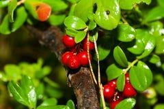 Airelas frescas na floresta Imagens de Stock Royalty Free